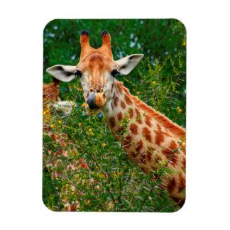 Retrato de la jirafa, parque nacional de Kruger Imán Flexible