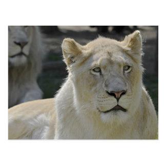 Retrato de la leona blanca postal
