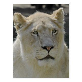 Retrato de la leona blanca tarjetas postales