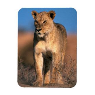Retrato de la leona (Panthera Leo) Imanes