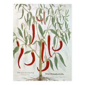 Retrato de la planta de la pimienta de cayena tarjetas postales