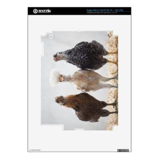 Retrato de tres pollos del mascota que miran adela iPad 3 skins