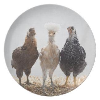 Retrato de tres pollos del mascota que miran adela plato de comida
