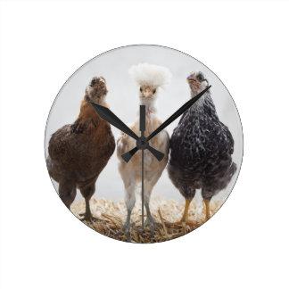 Retrato de tres pollos del mascota que miran adela reloj