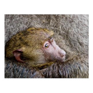 Retrato de un babuino verde oliva del bebé (Papio Postales