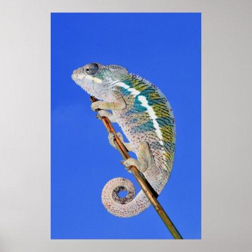 retrato de un camaleón masculino de la pantera poster