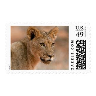 Retrato de un león masculino joven (Panthera Leo) Franqueo