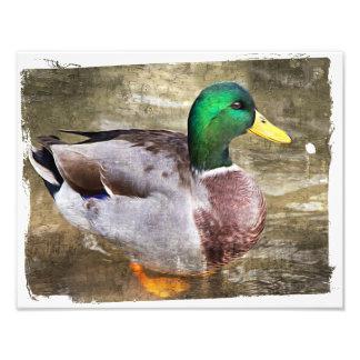 Retrato de un pato silvestre masculino cojinete