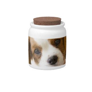 Retrato de un perrito del perro de aguas de rey Ch Jarra Para Caramelo