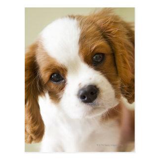 Retrato de un perrito del perro de aguas de rey tarjeta postal
