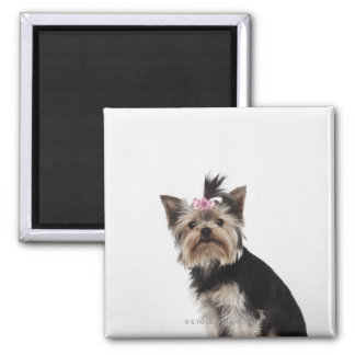 Retrato de un perro de Yorkshire Terrier Iman De Nevera
