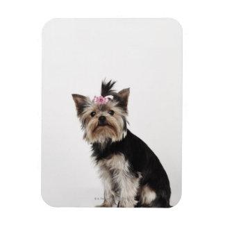 Retrato de un perro de Yorkshire Terrier Imán
