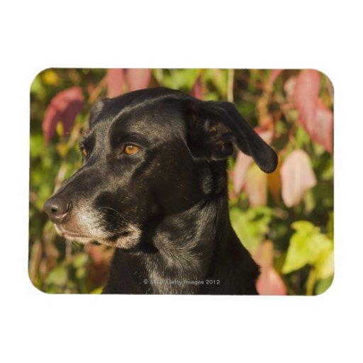 Retrato de un perro imán de vinilo