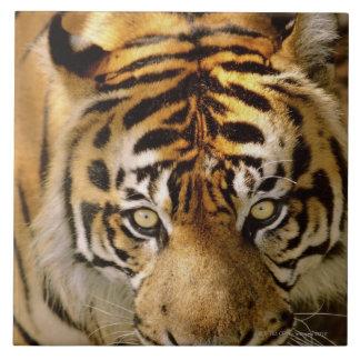 Retrato de un tigre azulejo cuadrado grande