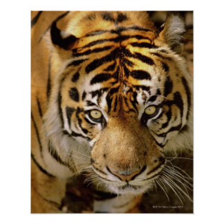 Retrato de un tigre poster