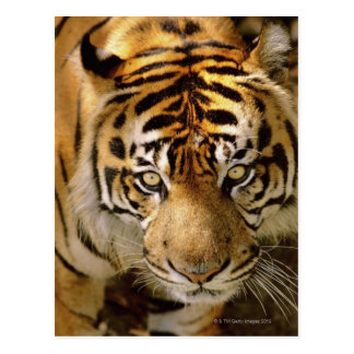Retrato de un tigre tarjetas postales