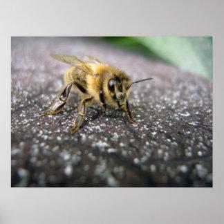 Retrato de una abeja de la miel póster