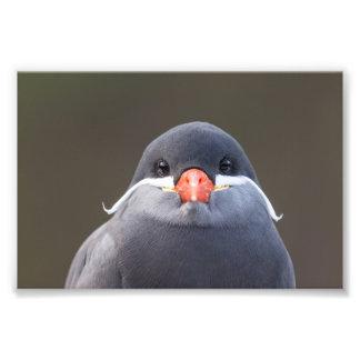 Retrato de una golondrina de mar del inca fotografía