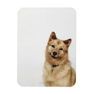 Retrato de una sonrisa finlandesa del perro del pe imán flexible