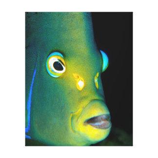 Retrato del Angelfish del semicírculo, bahía de Impresiones En Lienzo Estiradas