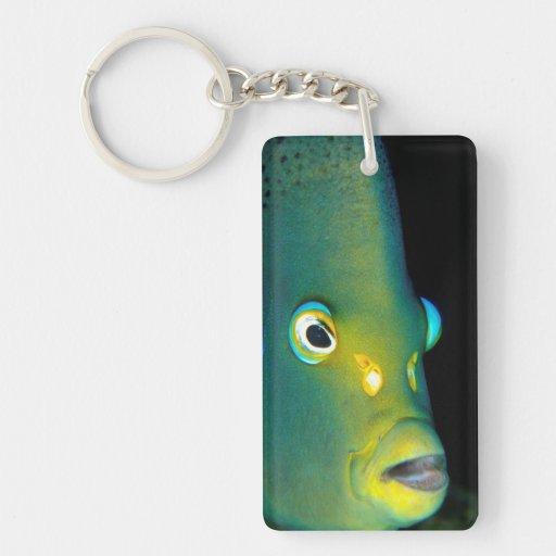 Retrato del Angelfish del semicírculo, bahía de Llaveros