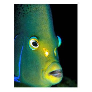 Retrato del Angelfish del semicírculo, bahía de Postal