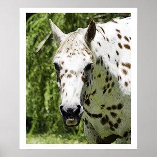 Retrato del Appaloosa, fotografía del caballo Poster