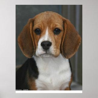Retrato del beagle poster