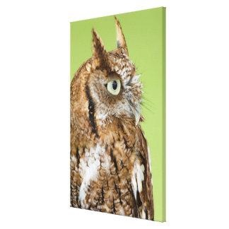 Retrato del búho de chillido impresiones en lienzo estiradas