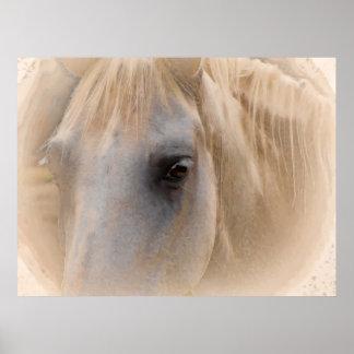 Retrato del caballo blanco póster