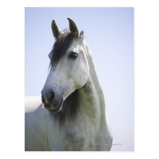 retrato del caballo blanco tarjeta postal