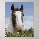 Retrato del caballo de Clydesdale Poster