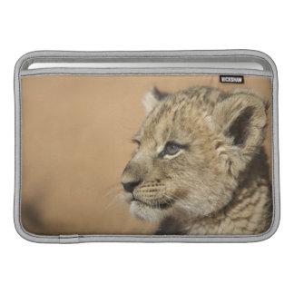 Retrato del cachorro de león (Panthera Leo), Namib Funda MacBook