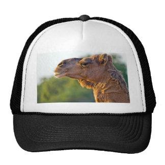 Retrato del camello gorros