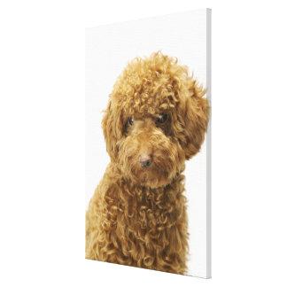 Retrato del caniche de juguete impresión de lienzo
