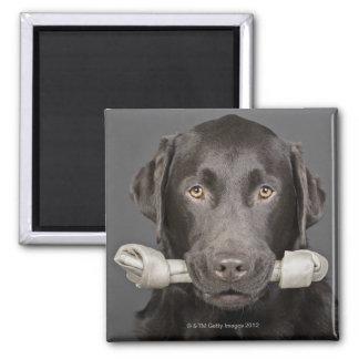 Retrato del chocolate Labrador Imán Cuadrado