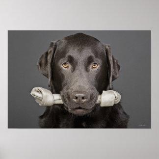 Retrato del chocolate Labrador Póster