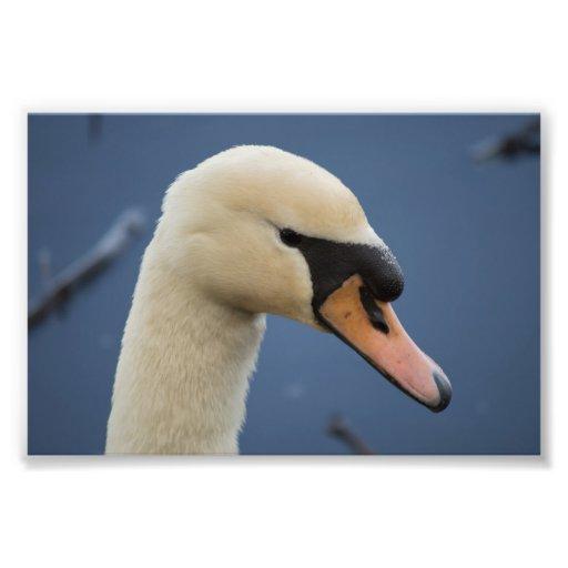 Retrato del cisne mudo impresiones fotograficas