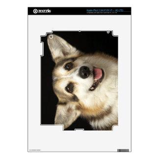 Retrato del Corgi negro, marrón y blanco Pegatina Skin Para iPad 3