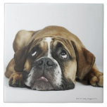 Retrato del dogo viejo de Dorset Tyme Azulejo Cuadrado Grande
