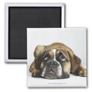 Retrato del dogo viejo de Dorset Tyme Iman