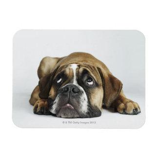 Retrato del dogo viejo de Dorset Tyme Iman De Vinilo