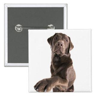 Retrato del estudio del chocolate Labrador Pin Cuadrado