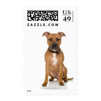 Retrato del estudio del perrito americano 3 del pi