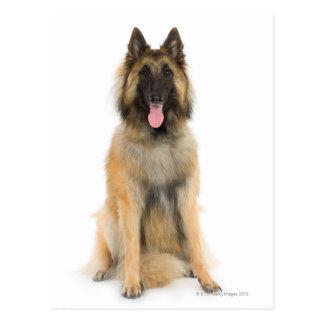 Retrato del estudio del perro de pastor belga tarjetas postales