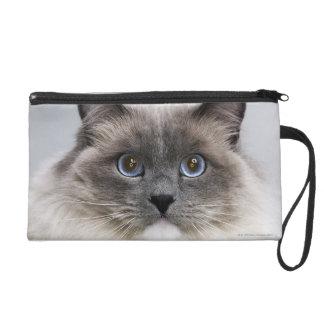 Retrato del gato de Ragdoll