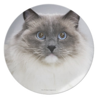 Retrato del gato de Ragdoll Plato Para Fiesta