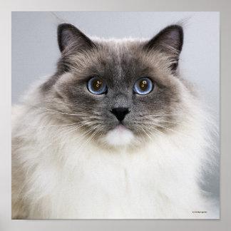 Retrato del gato de Ragdoll Póster