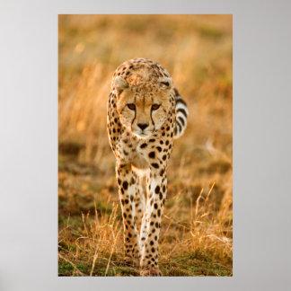 Retrato del guepardo (Acinonyx Jubatus), Maasai Póster