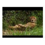 Retrato del guepardo en descanso postal